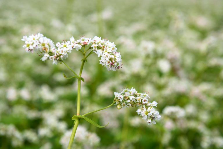 buckwheat flowers white field closeup
