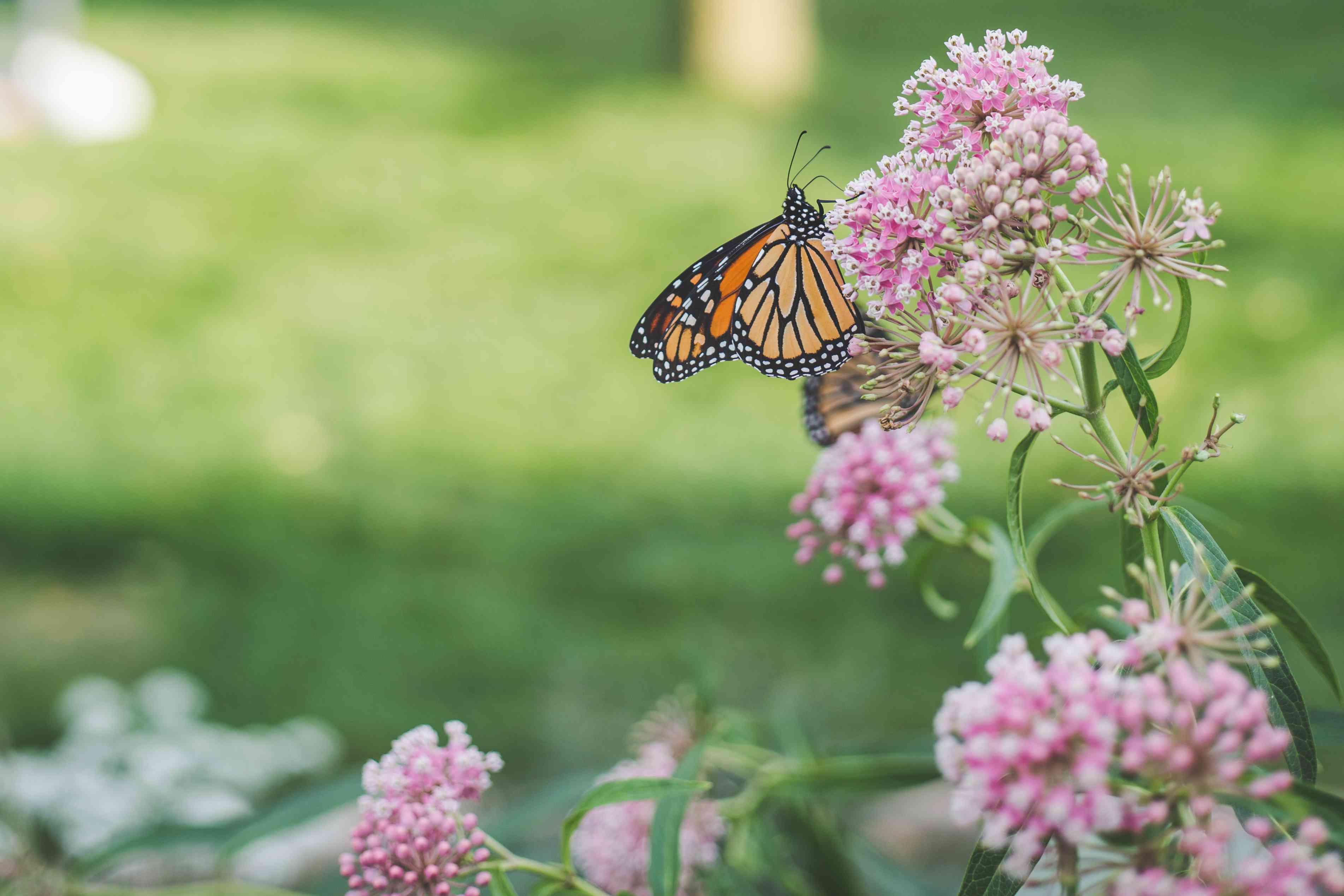 America's Heartland Monarch Butterfly on Milkweed