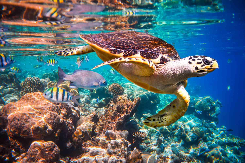 Hawksbill turtlem Hawksbill turtle in an Indian Ocean coral reef, Maldives.
