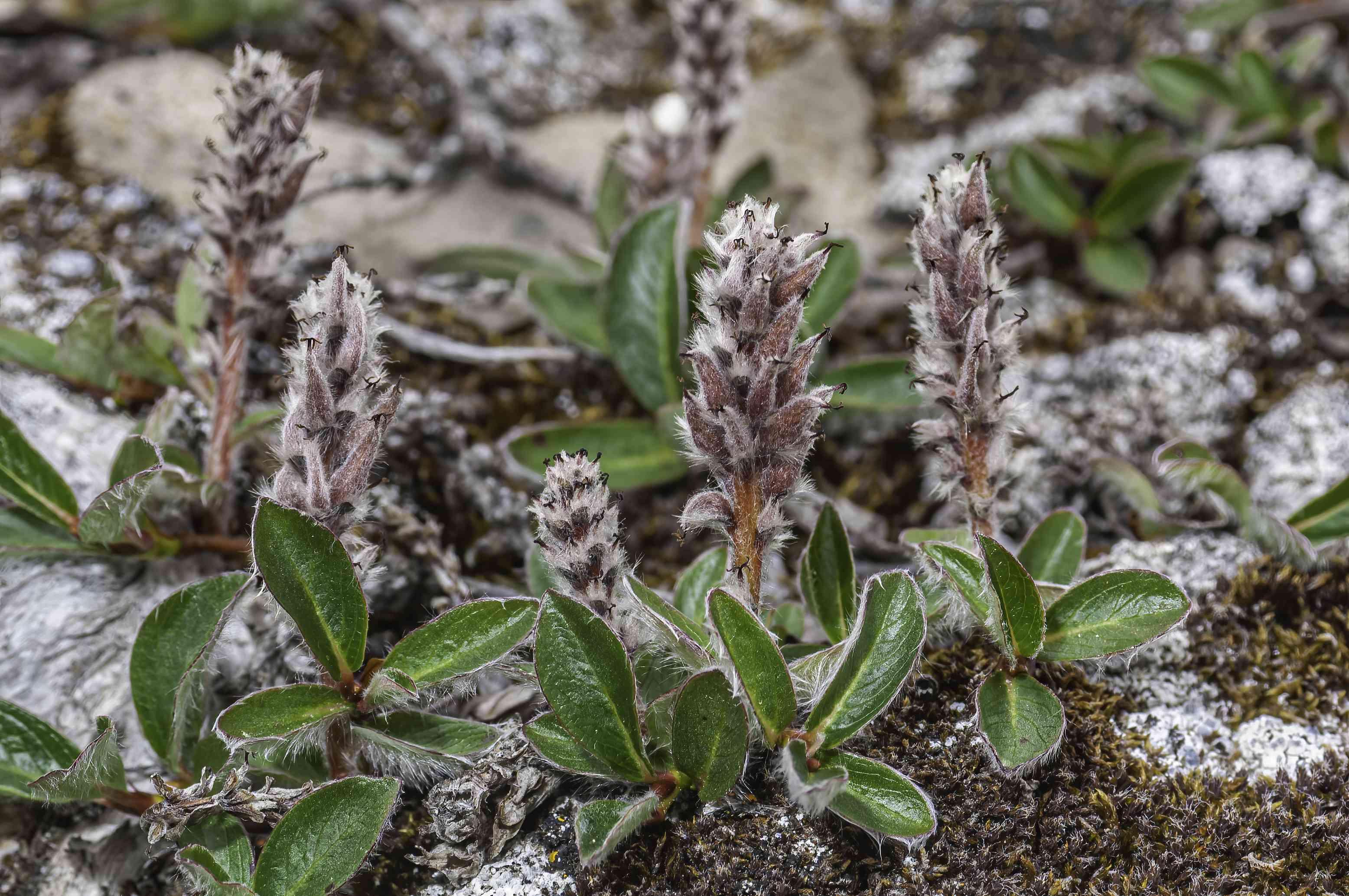 Arctic willow plant