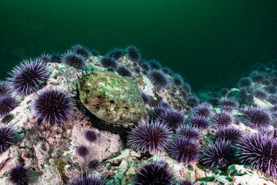 A single red abalone surrounded by purple sea urchins