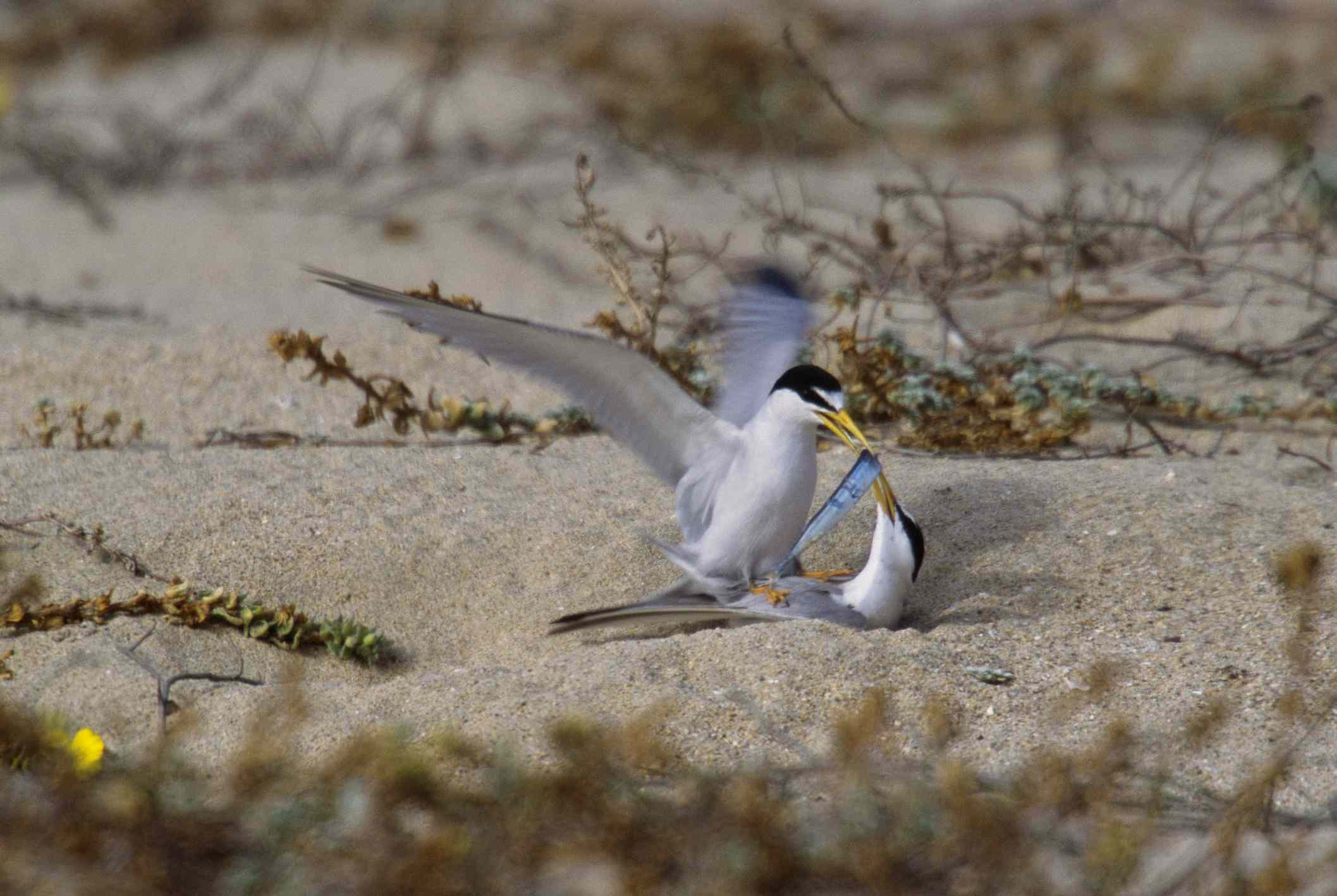 A California least tern offering fish to a mate on the beach.