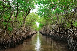 Protected ecological carbon capture mangrove in Everglade City, Florida.