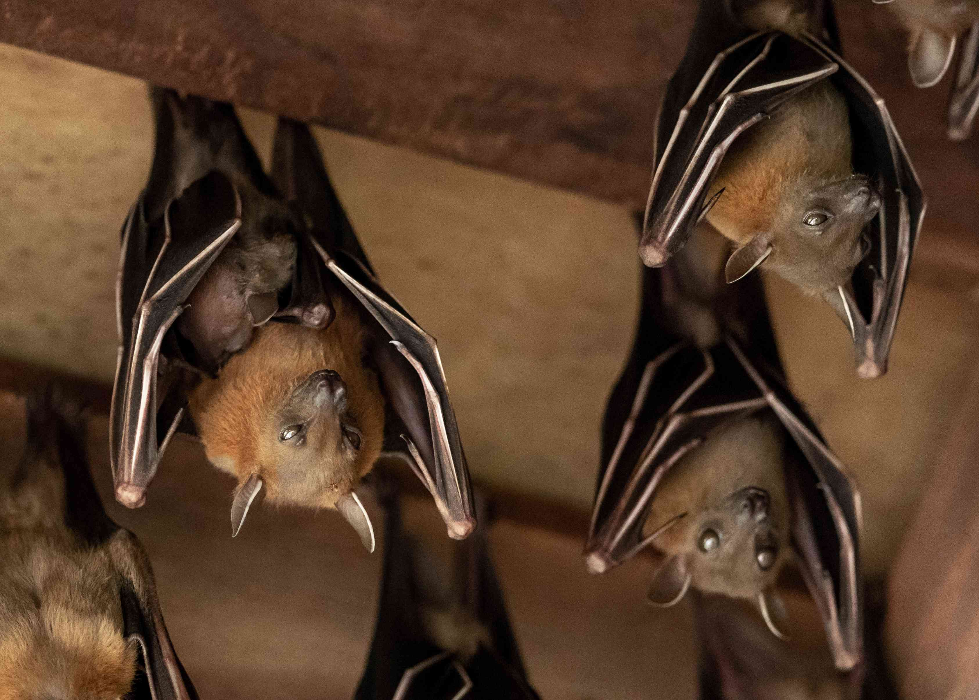 Large brown bats hang from the rafters in a wooden building