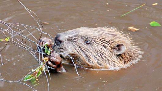 Beaver in water chews on small twig
