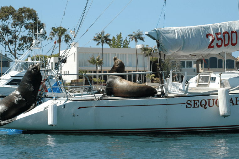 Sea lions lounging on a yacht in Newport Beach, CA