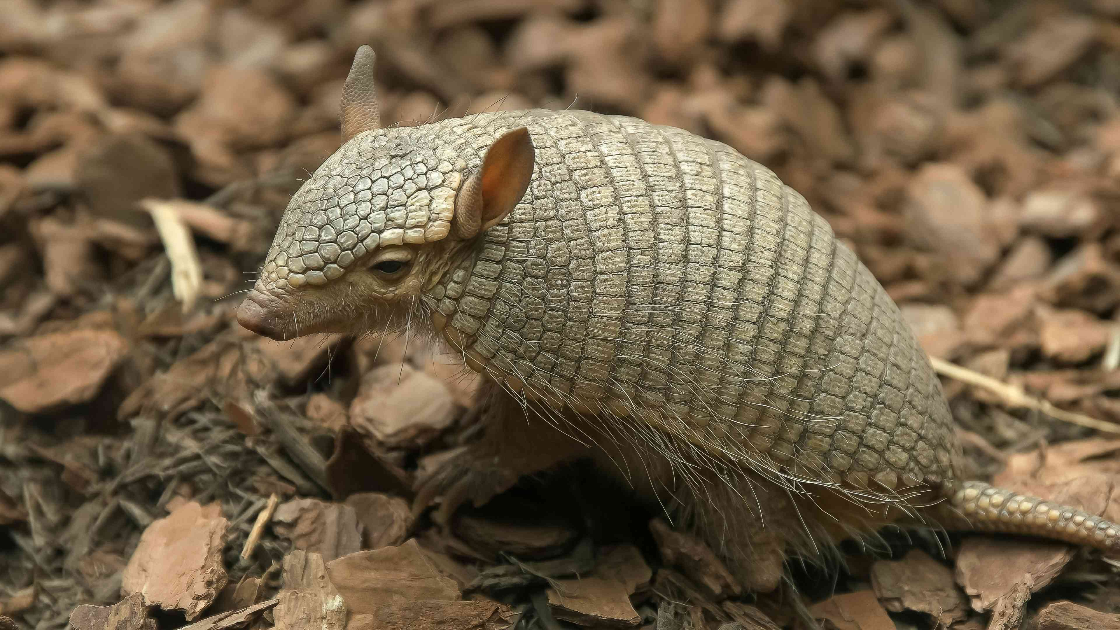 side view of a screaming hairy armadillo