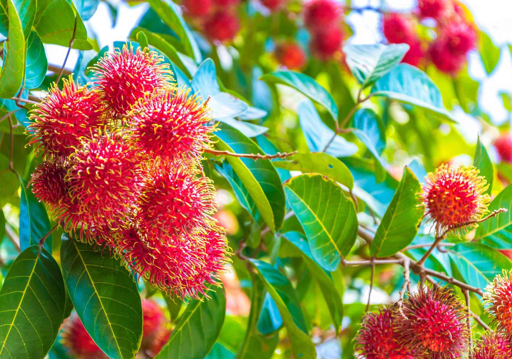 Rambutan fruit growing on tree