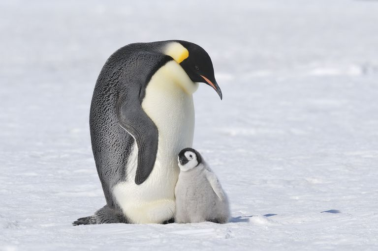 Emperor penguin (Aptenodytes forsteri) standing with its child