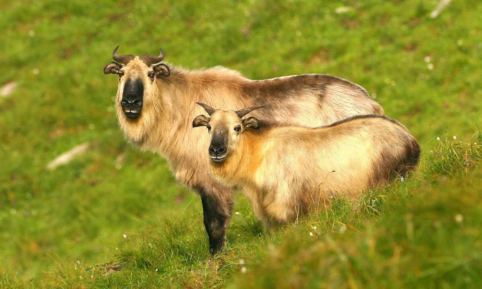 takin, a type of antelope-goat