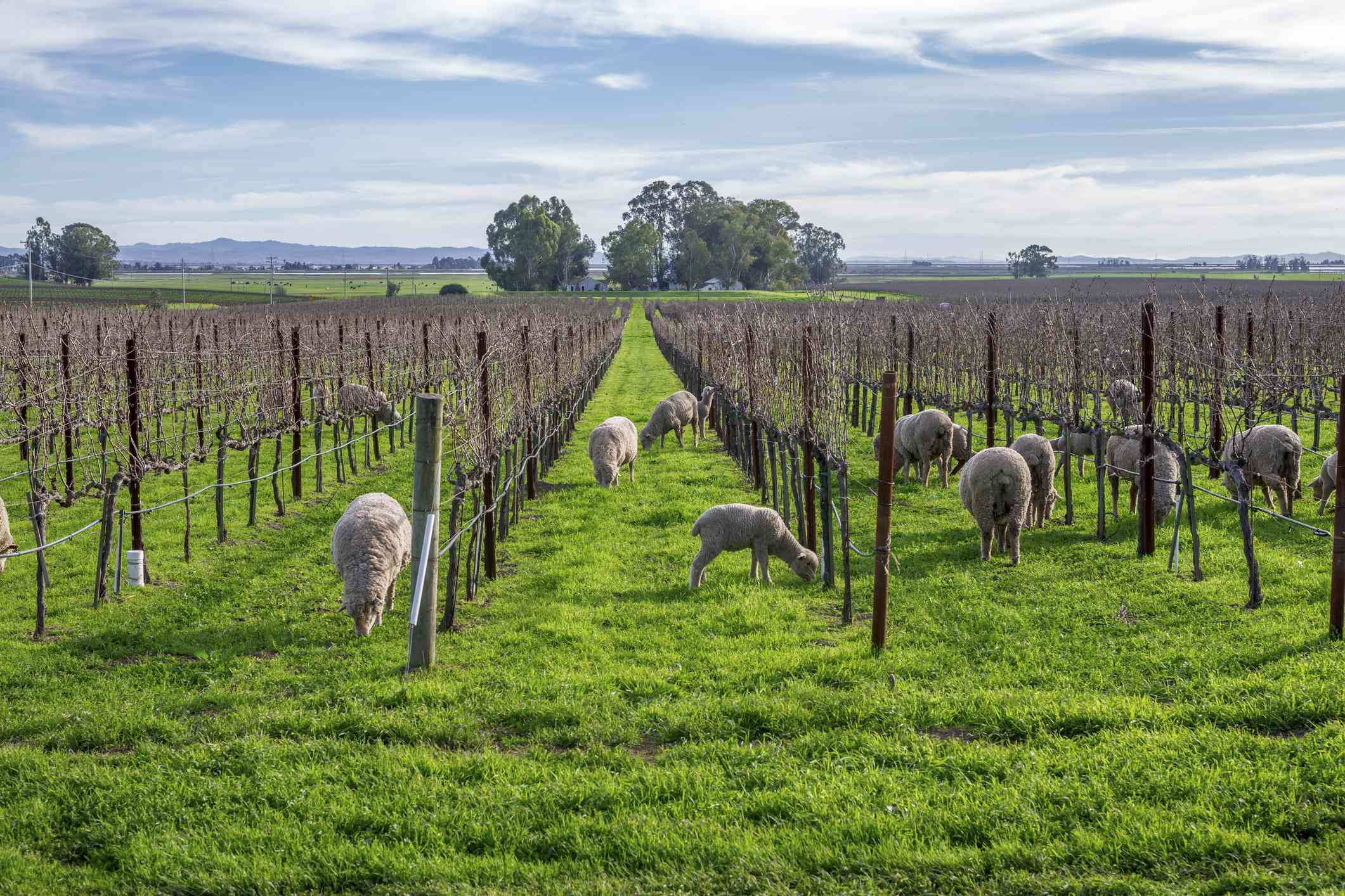 Sheep grazing in a winery.