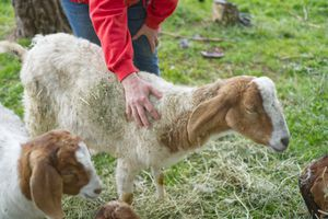 person in red sweatshirt pets goats out in green pasture
