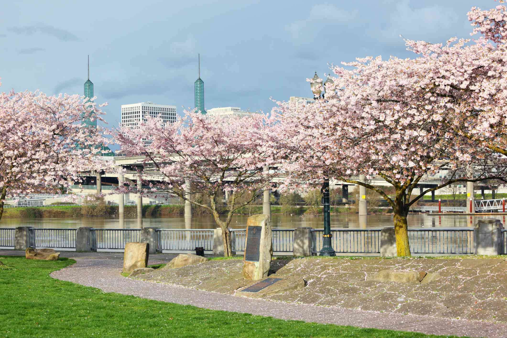 A stand of pink blooming cherry blossom trees along the waterfront at Portland's Japanese American Historical Plaza under a partly cloudy, partly sunny sky