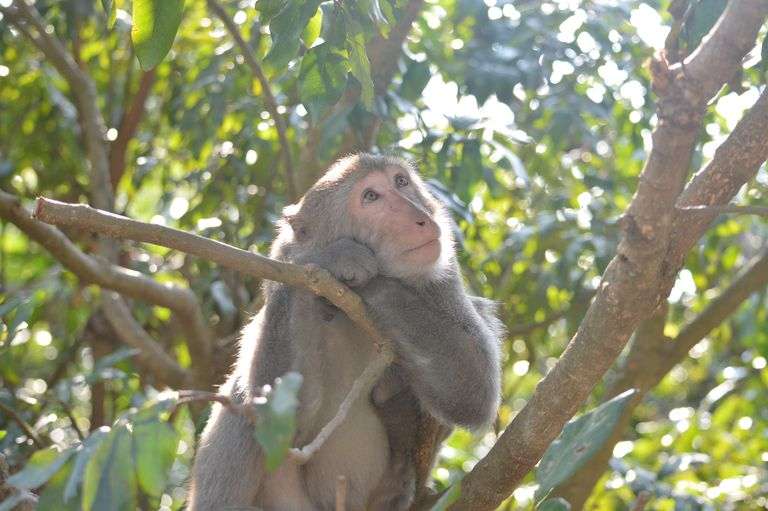 A Formosan rock macaque sits in a tree branch looking upward.