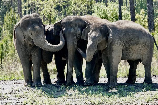 elephants at White Oak Conservation