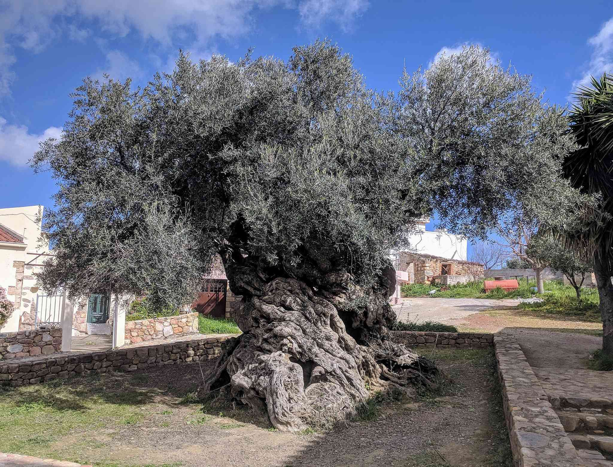 Olive tree of Vouves with buildings in the background
