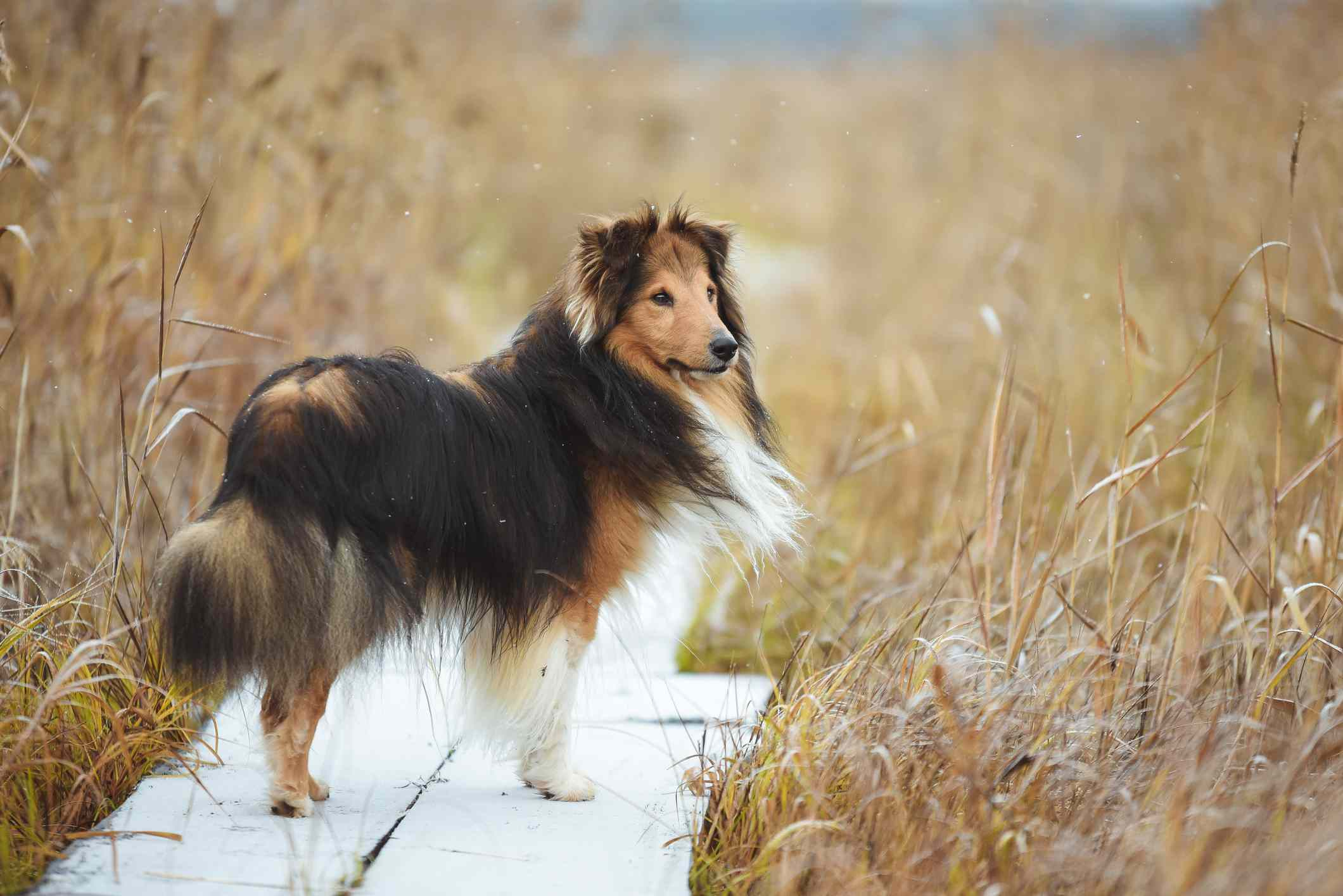 fluffy shetland sheepdog on wooden path surrounded by tall, dry grass