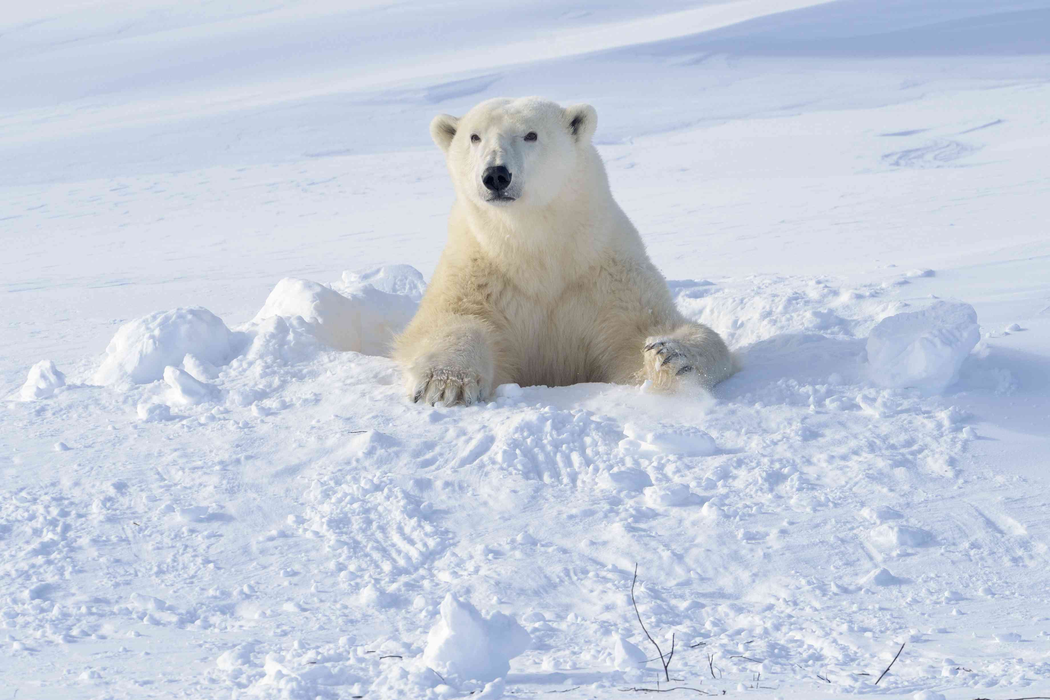 Polar bear (Ursus maritimus) mother coming out freshly opened den with backlight, Wapusk national park, Canada.