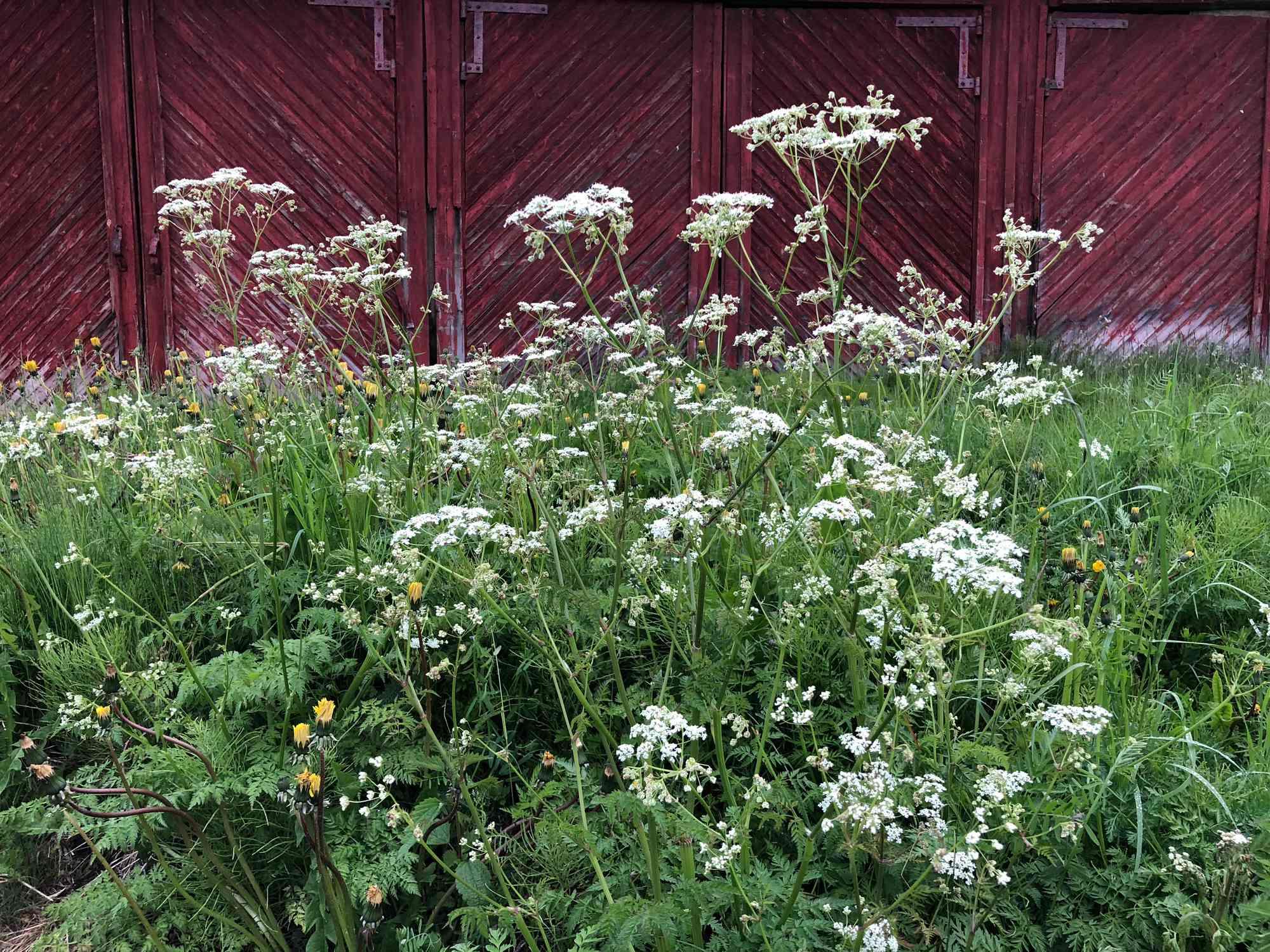 Hemlock growing in a garden