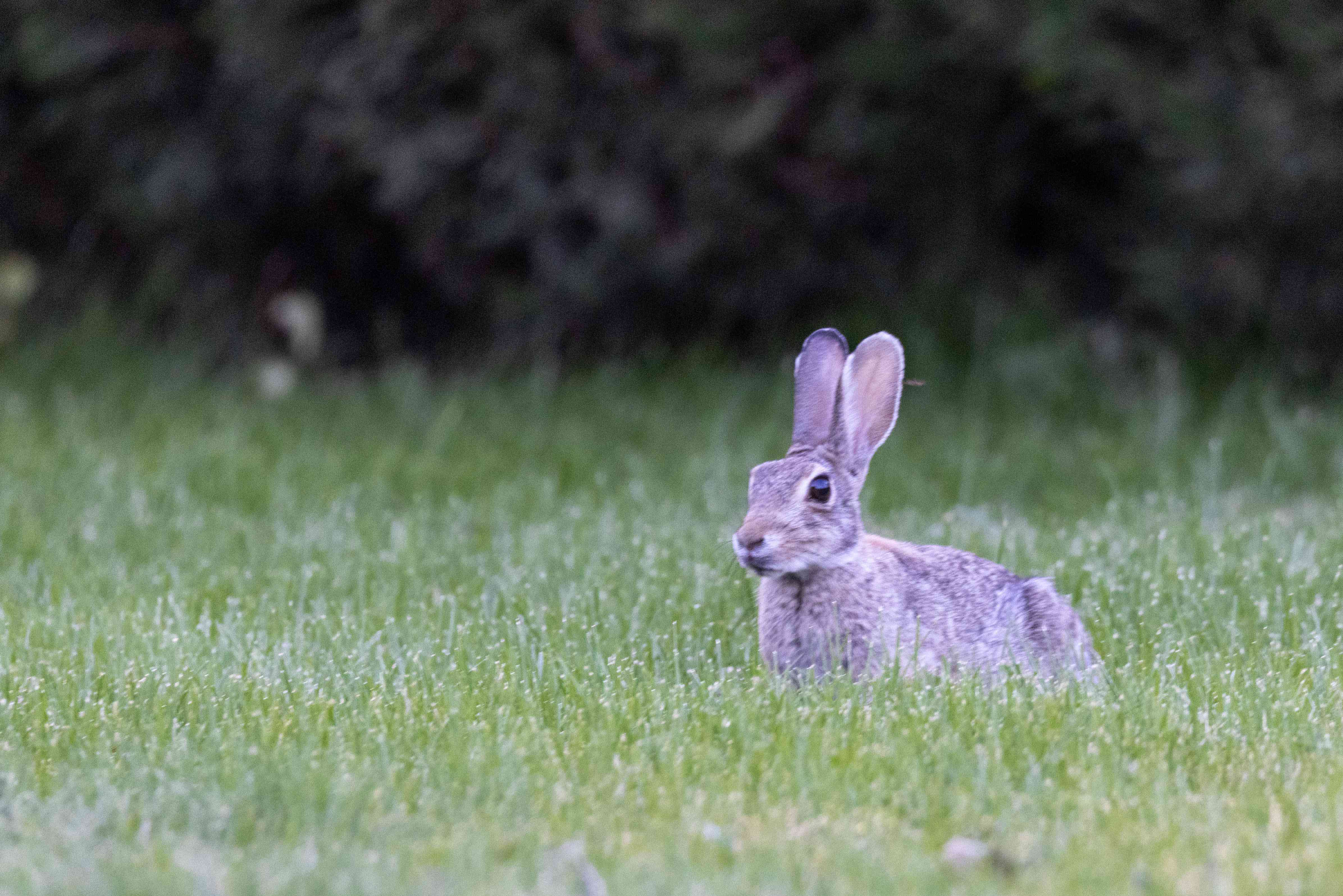 a small wild rabbit peers around in backyard with bushes in background
