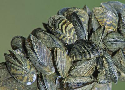 ZEBRA MUSSEL Colony (Dreissena polymorpha)