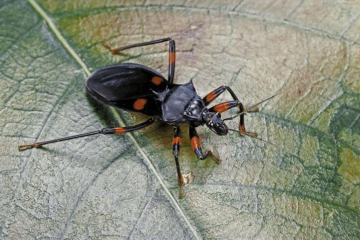 A kissing bug on a leaf.