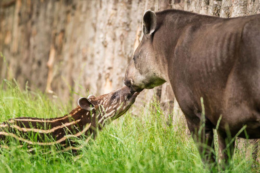 Tapir and calf