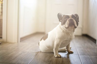 French bulldog looking guilty in the house
