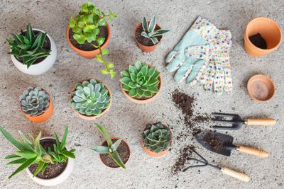 flat lay of variety of succulents in terracotta containers with gardening tools
