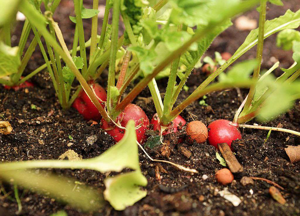 Red radishes in soil.