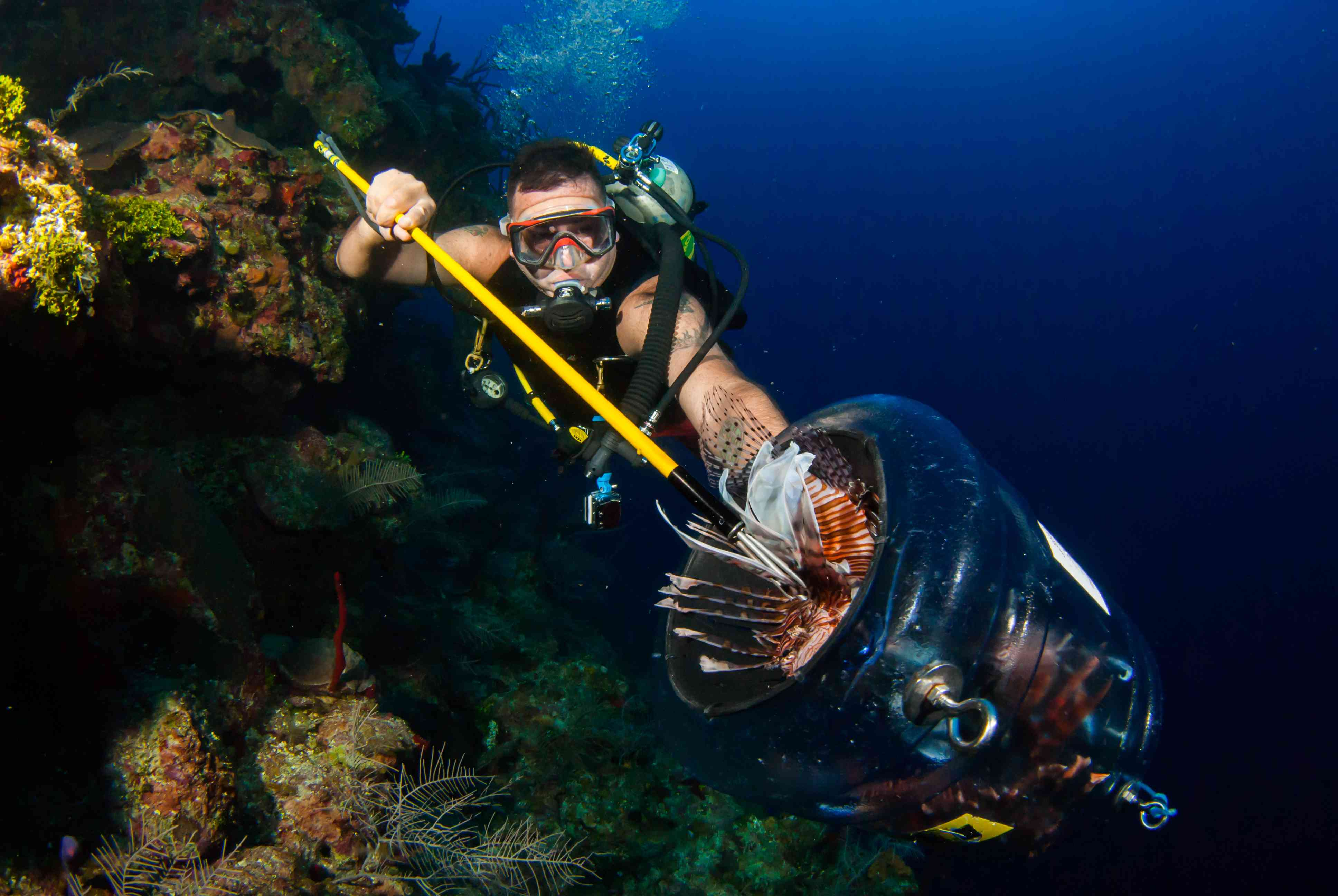 lionfish hunter has successfully caught a fish on his spear and is putting it in a containment device