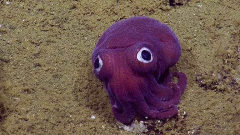 Científicos de las profundidades marinas capturan imágenes del calamar morado de