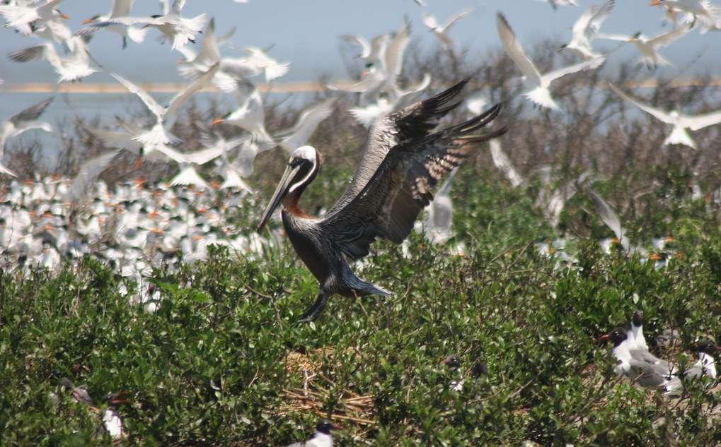 A brown pelican lands among royal terns at Breton Wildlife Refuge
