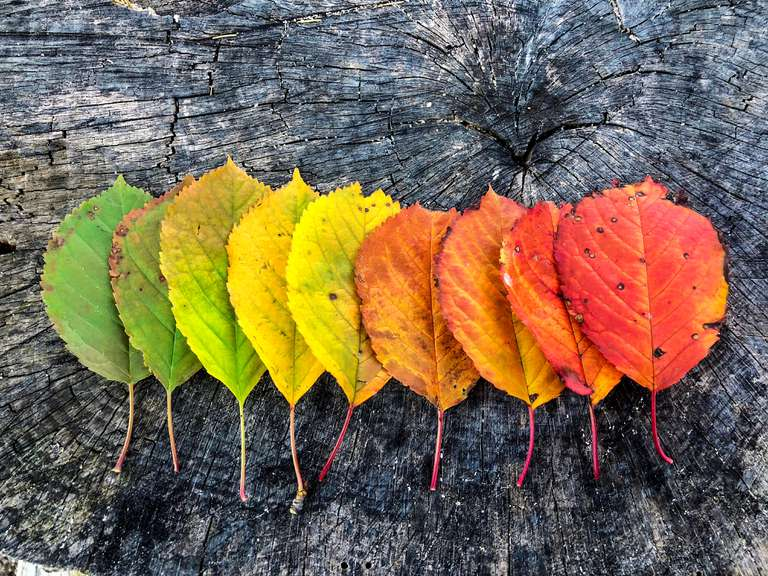¿Por qué las hojas cambian de color en otoño?