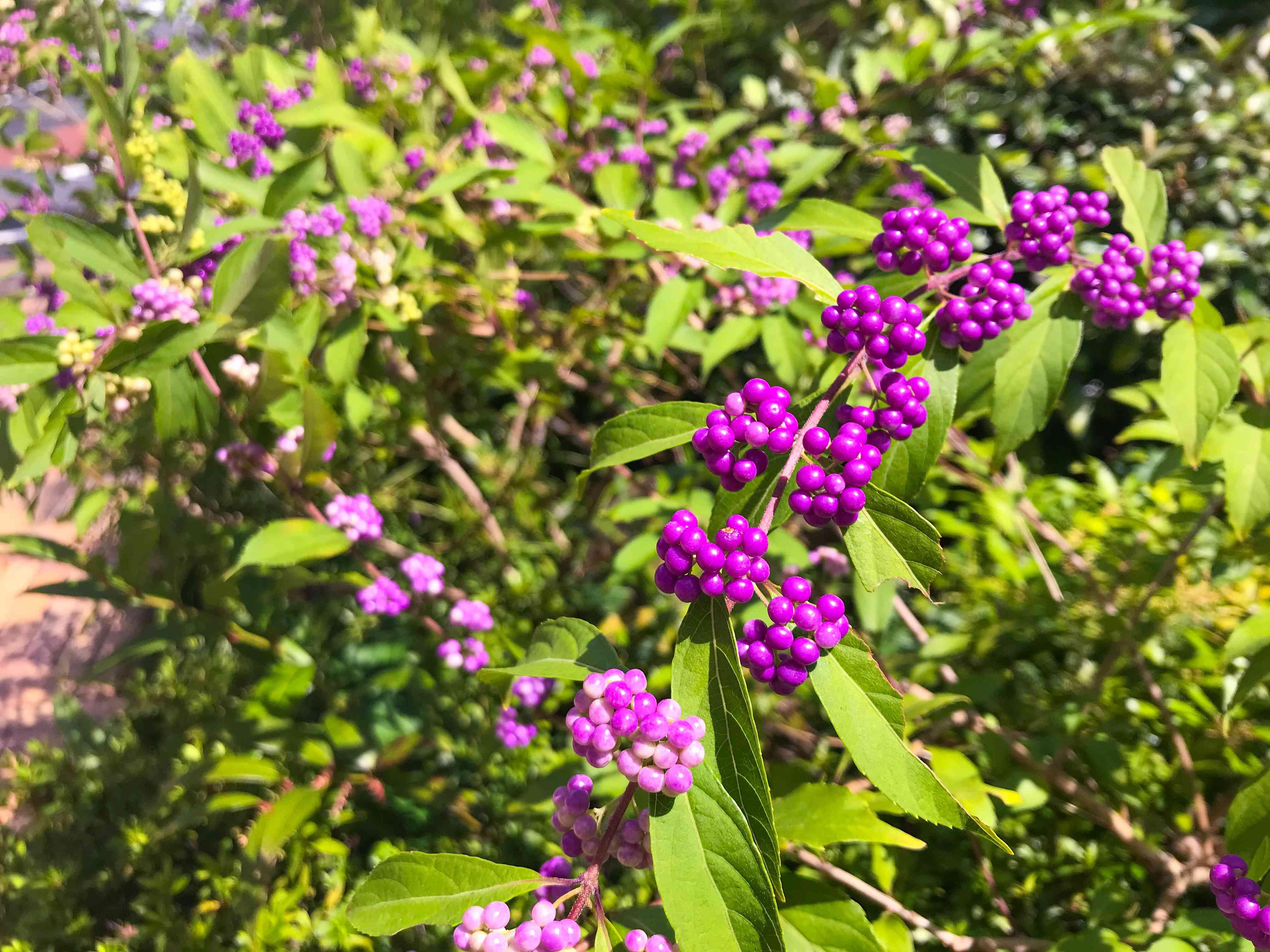 Beautyberry, Callicarpa