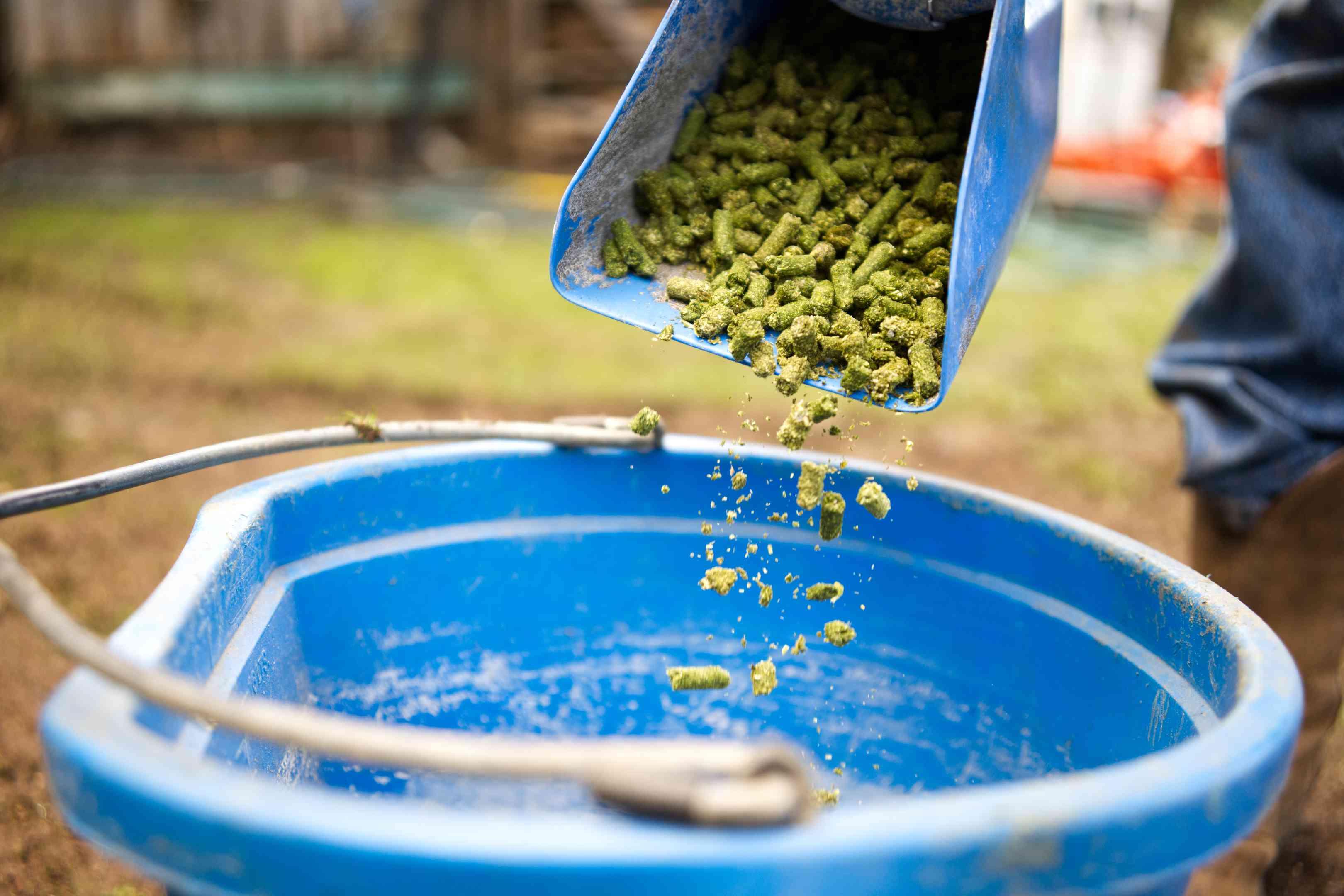 goat farmer dumps green food pellets into blue plastic bucket for feeding