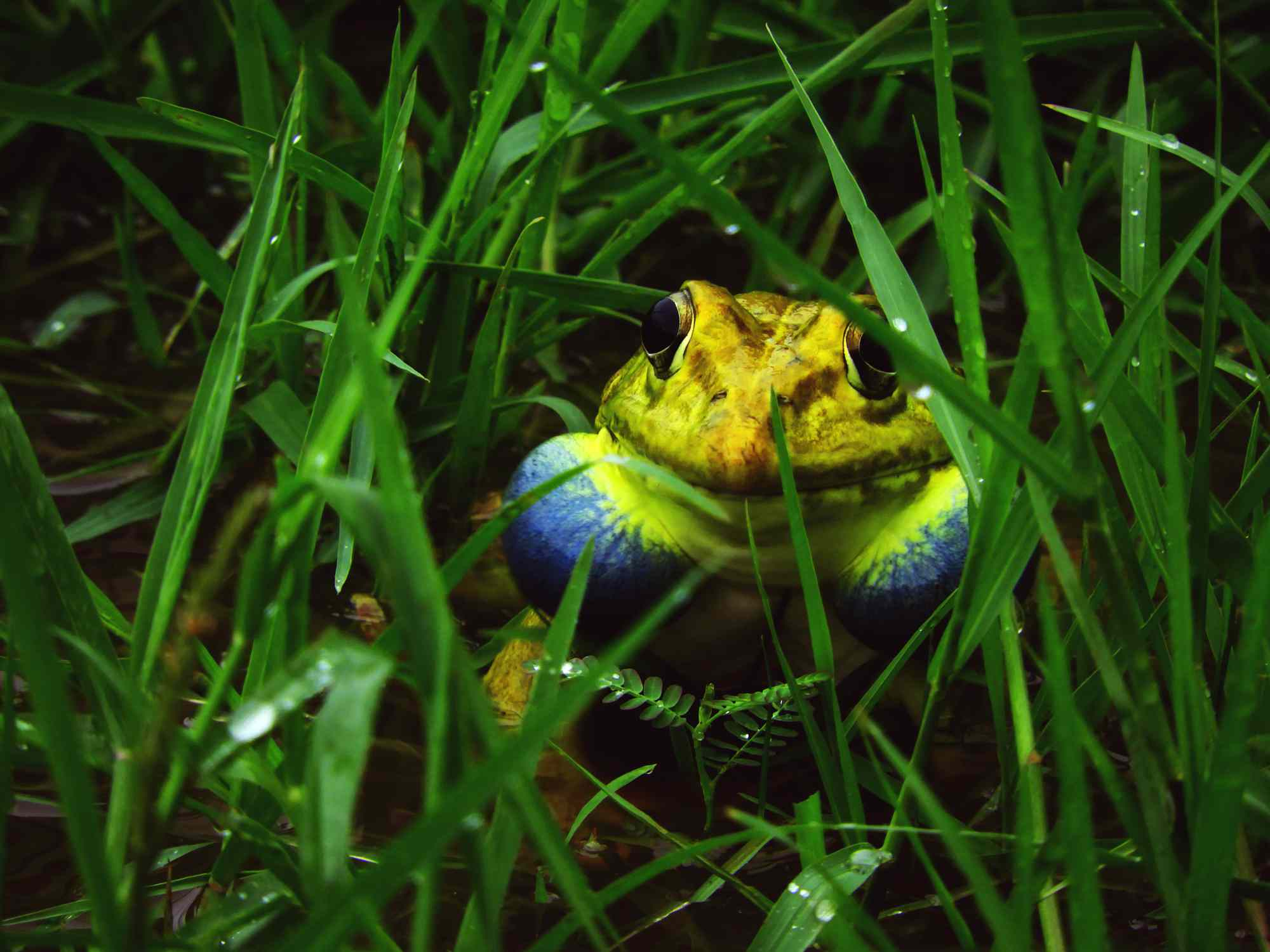 A yellow bullfrog with blue vocal sacs sits in the grass