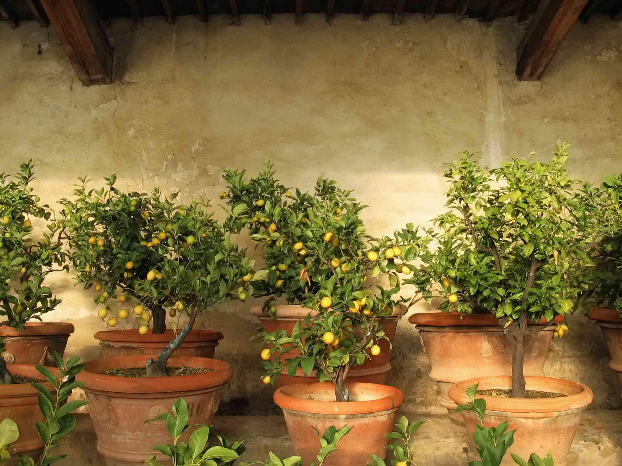 Lemon trees inside rustic lemon tree greenhouse in Tuscany, Italy