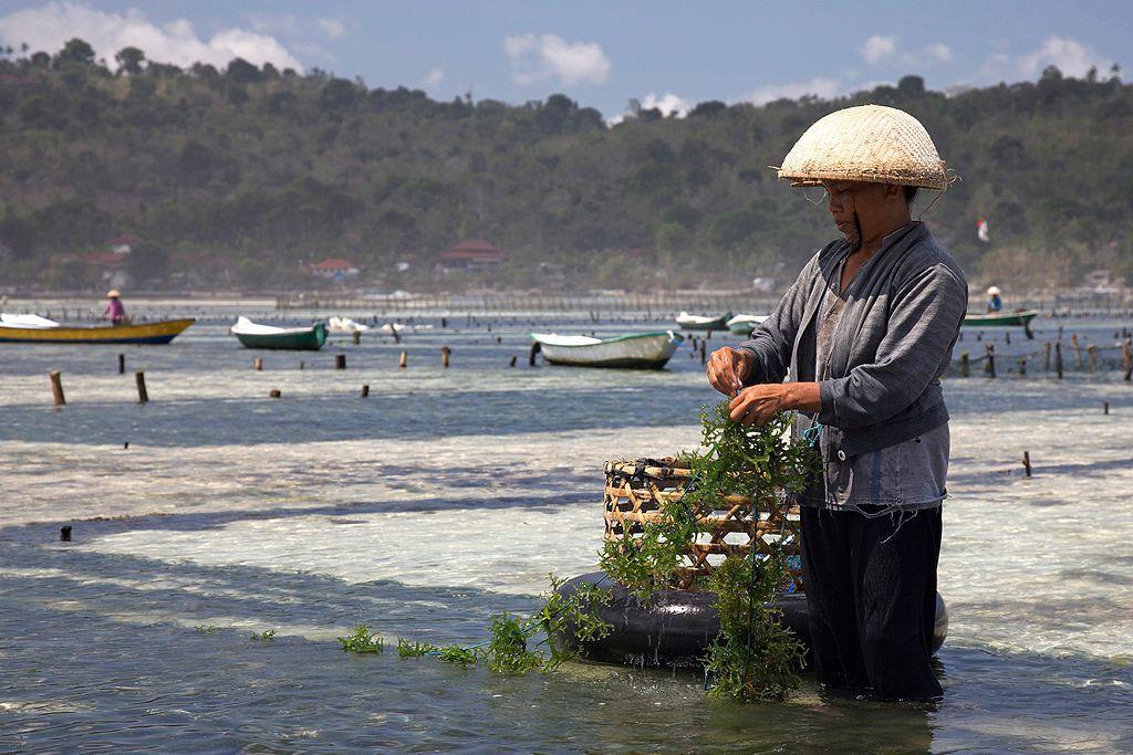 A farmer in Nusa Lembongan, Bali tends to his seaweed crop.