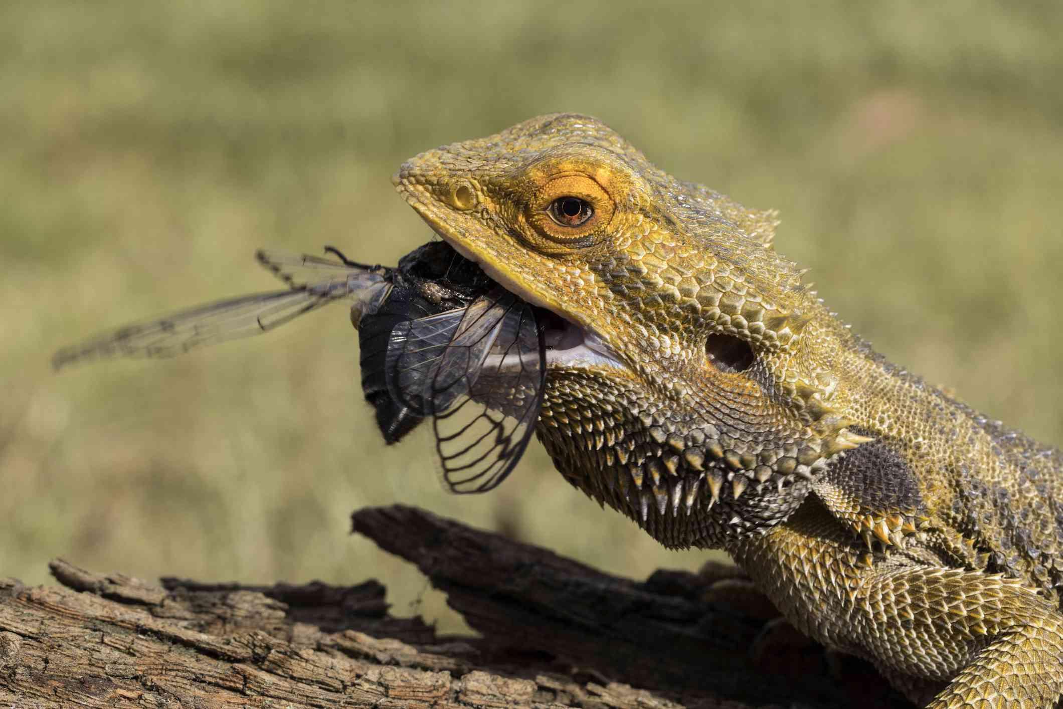 Central bearded dragon eating a cicada