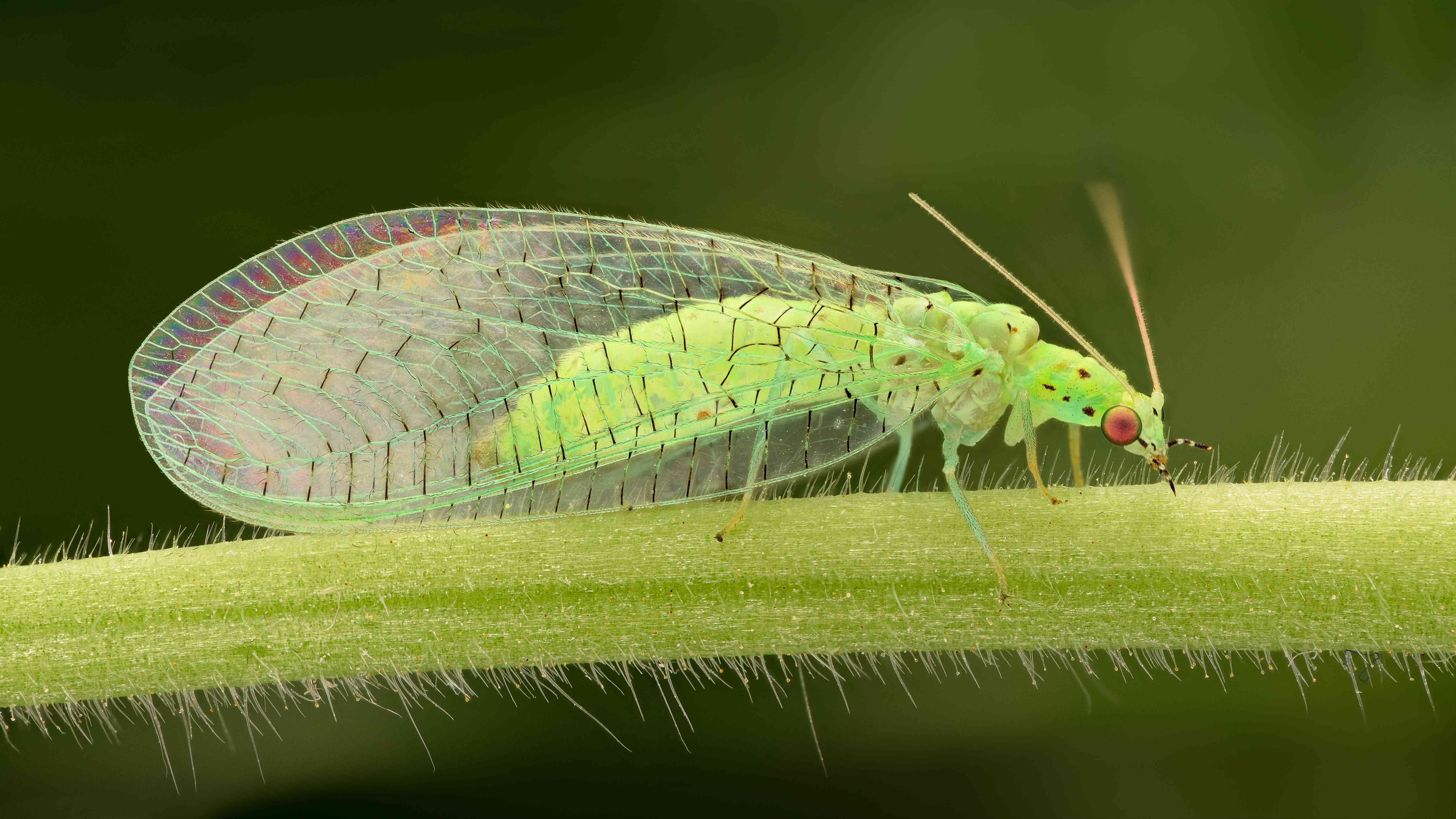 A lacewing inspects a plant's stem