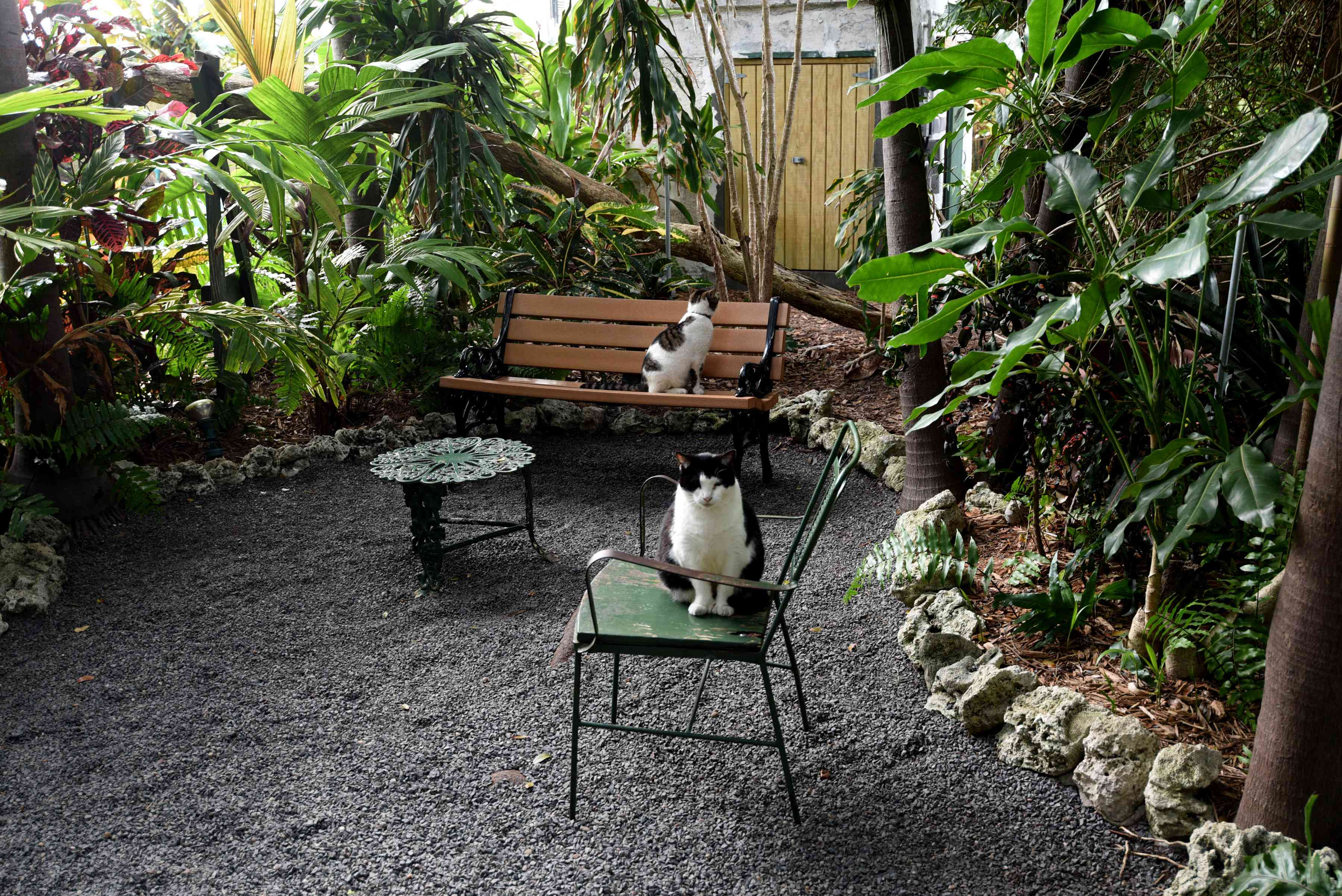 Polydactyl cats sitting in the Ernest Hemingway House garden