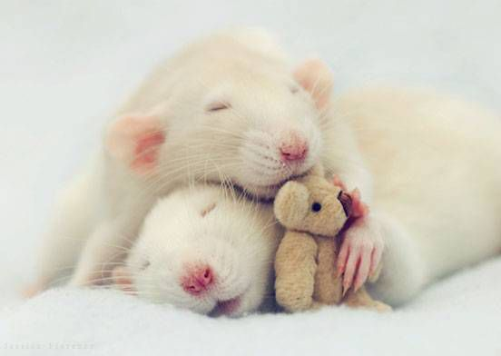 Two rats cuddle with a tiny teddy bear