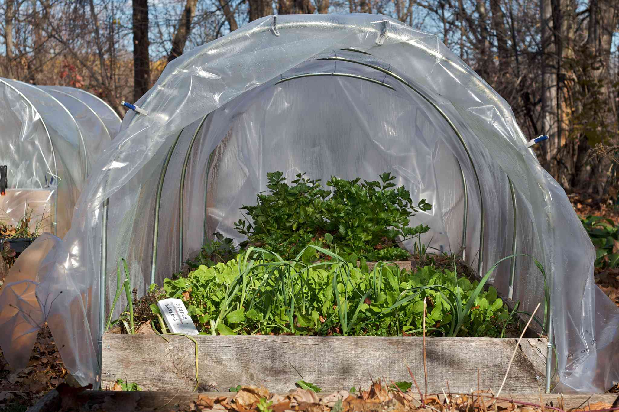 Spinach growing in a low tunnel greenhouse in the winter.