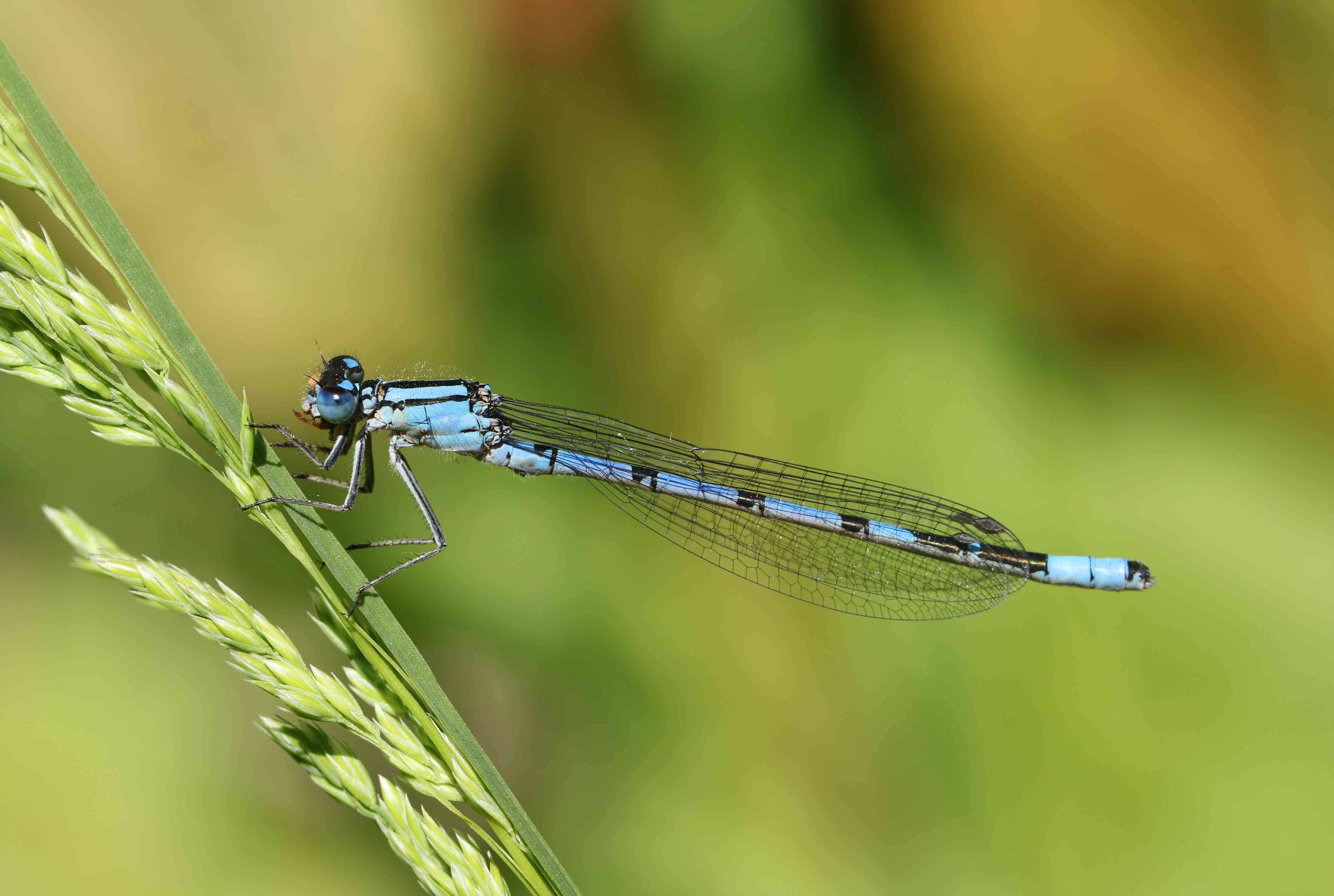 A Common Blue Damselfly, Enallagma cyathigerum, perching on grass seeds at the edge of a lake in springtime eating an insect.