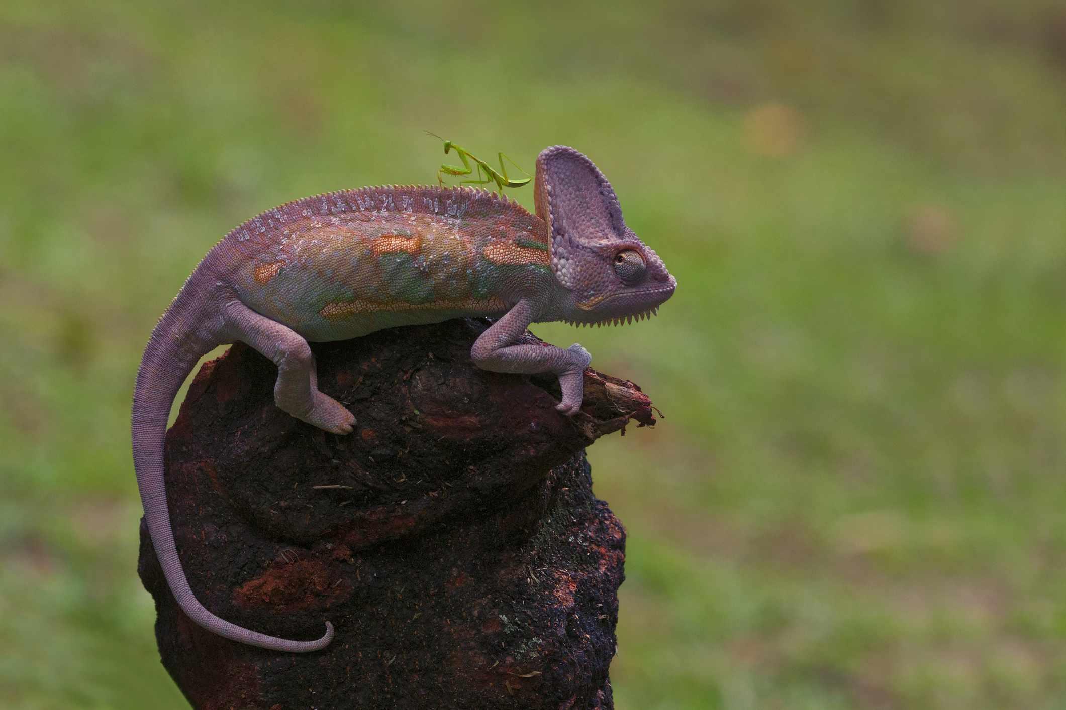 praying mantis on chameleon's back