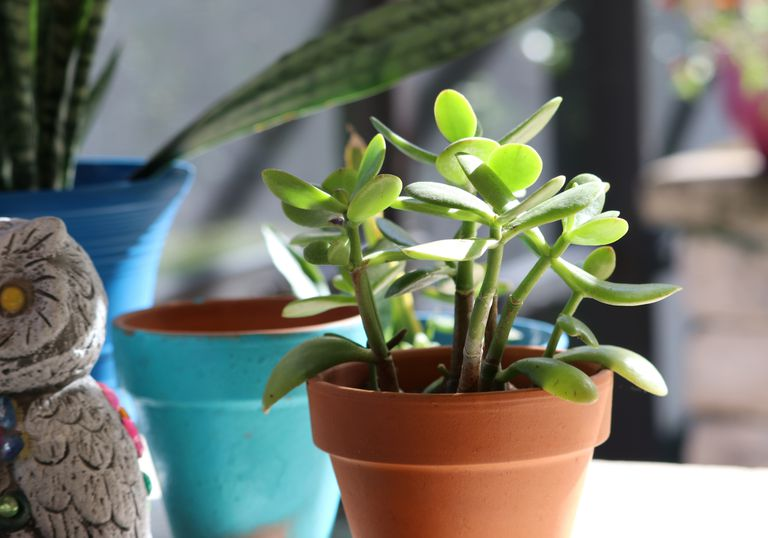 A potted, green succulent plant soaks up the sun among other indoor plants