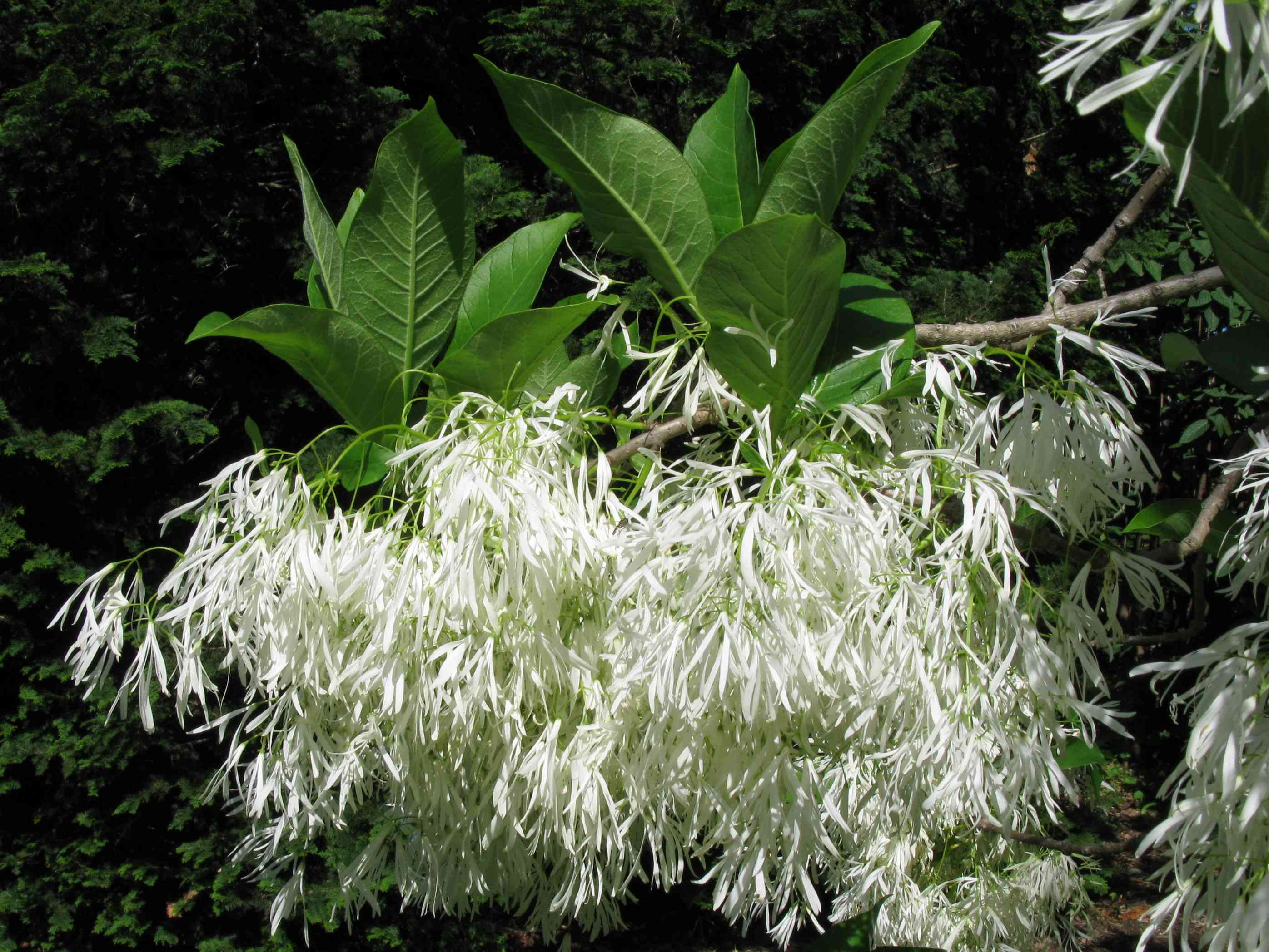 Green leaves and blossoms on a Chionanthus virginicus.