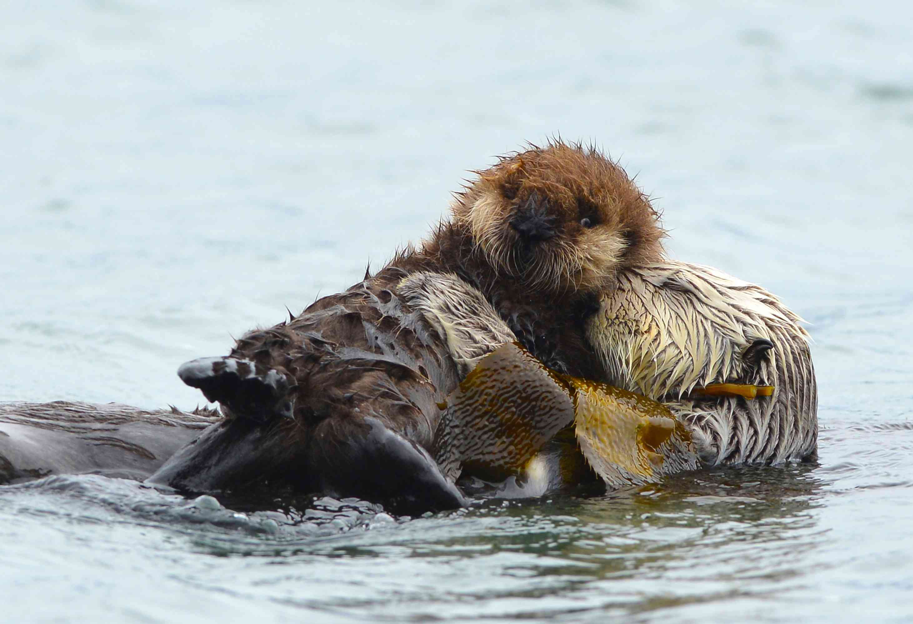 mother otter grooming pup