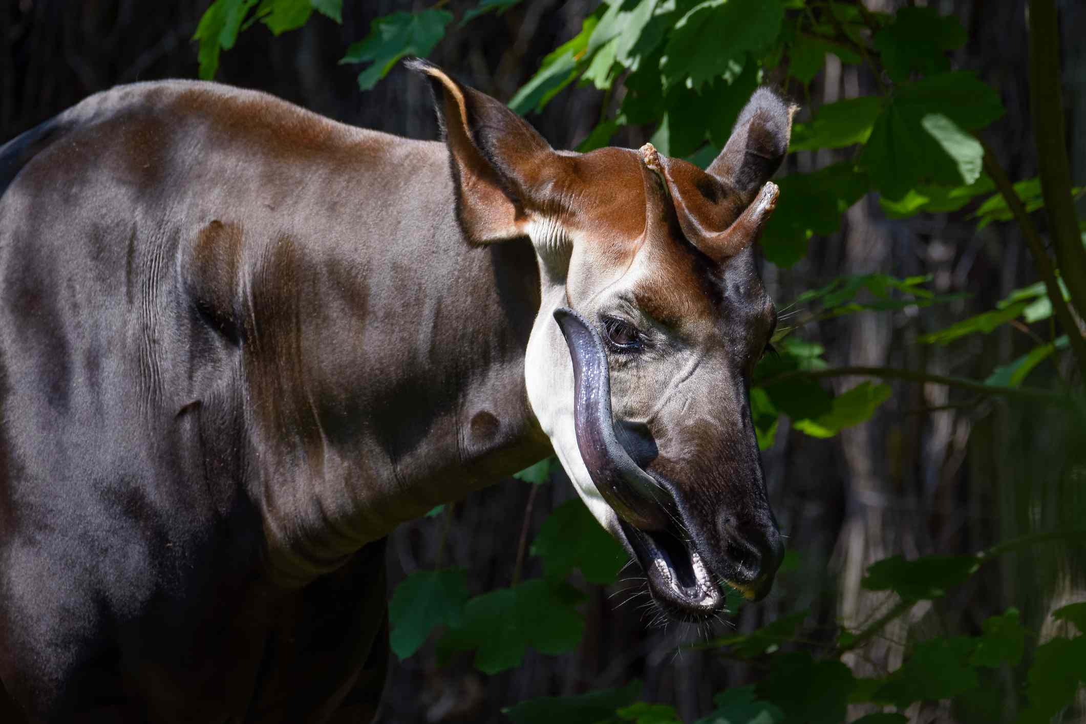 Okapi cleaning itself with its long tongue